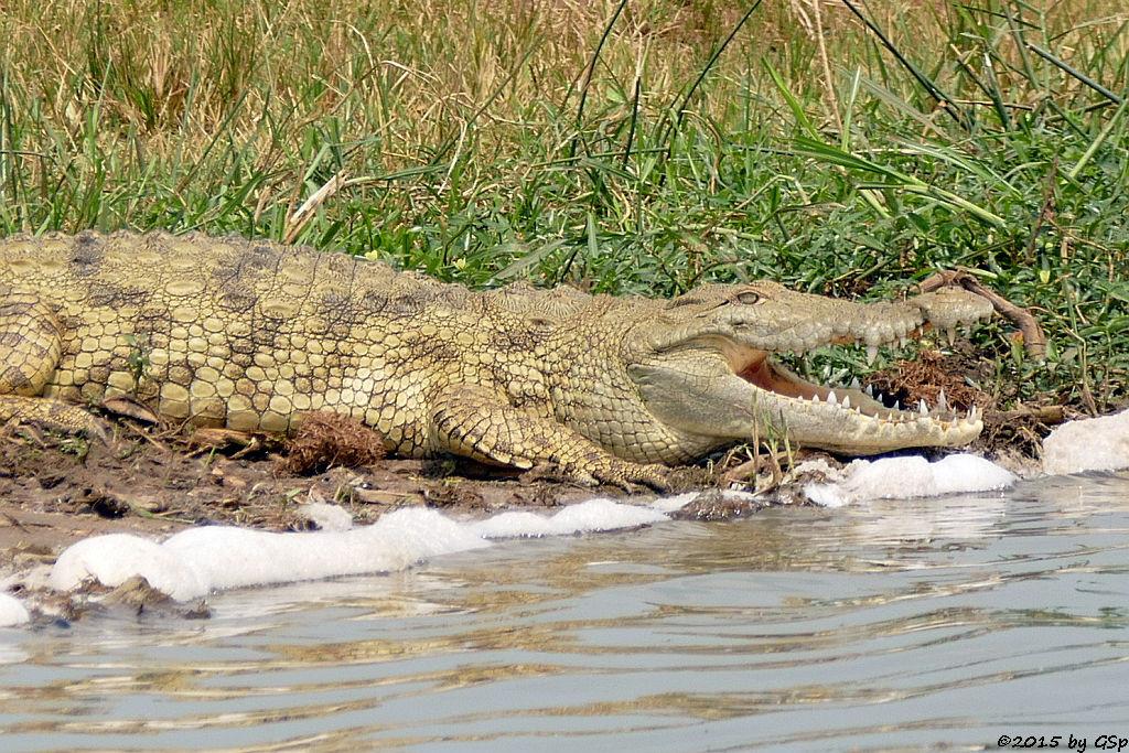Nilkrokodil (Nile Crocodile)