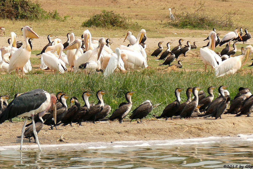 Marabu, Weißbauchkormoran, Rosapelikan, Nimmersatt (Marabou Stork, Greater (white-breasted) Cormorant, Great white Pelican, Yellow-billed Stork)
