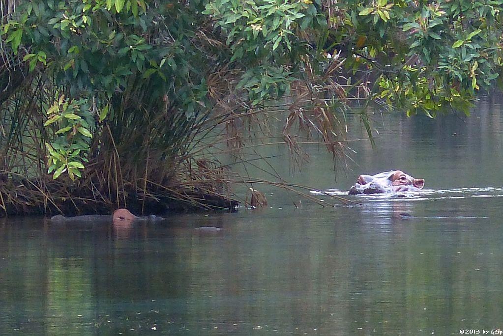 Flusspferd