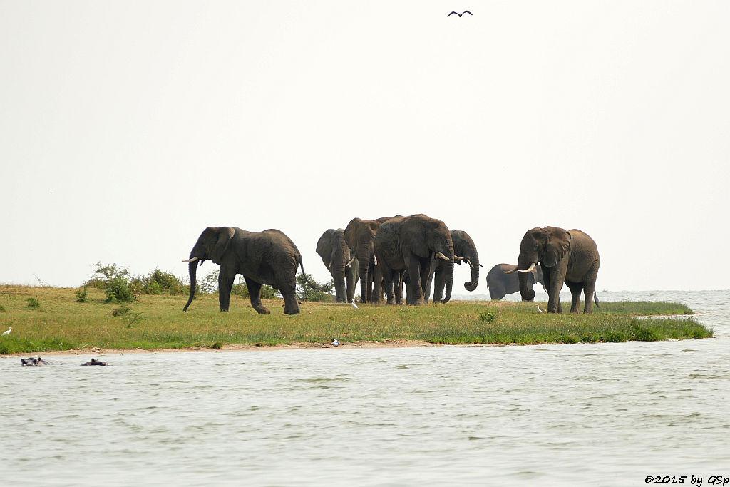 Flusspferd, Afrikanischer Elefant (Hippopotamus/Hippo, African Elephant