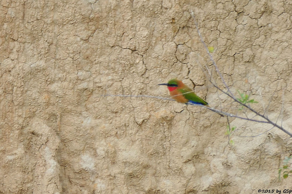 Rotkehlspint (Red-throated Bee Eater)