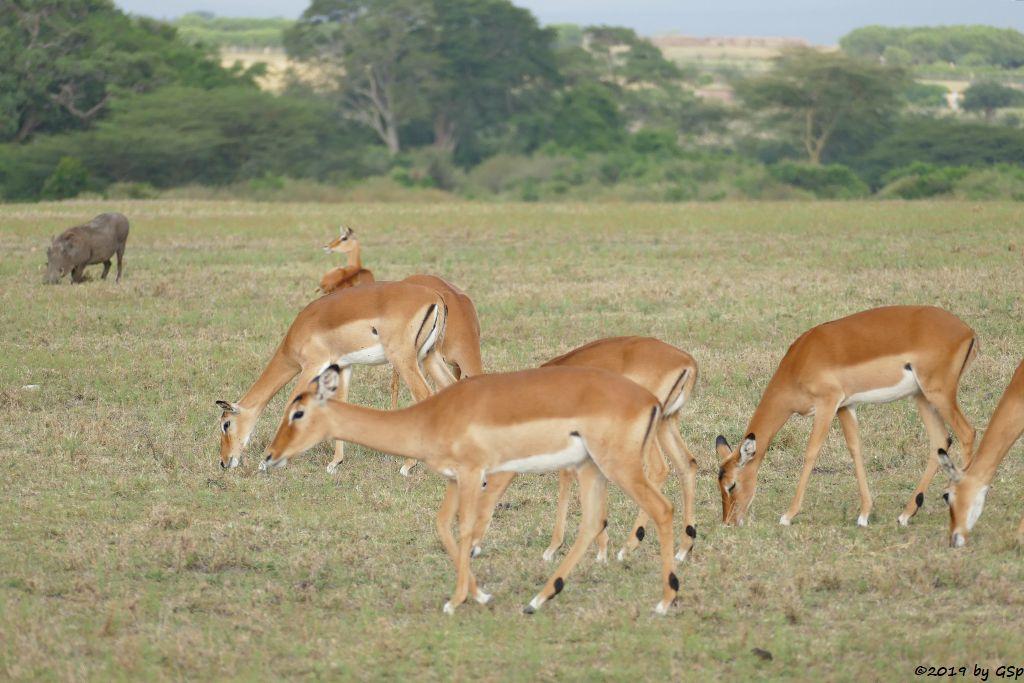 Gewöhnliches Warzenschwein, Gewöhnliche Impala (Schwarzfersenantilope)