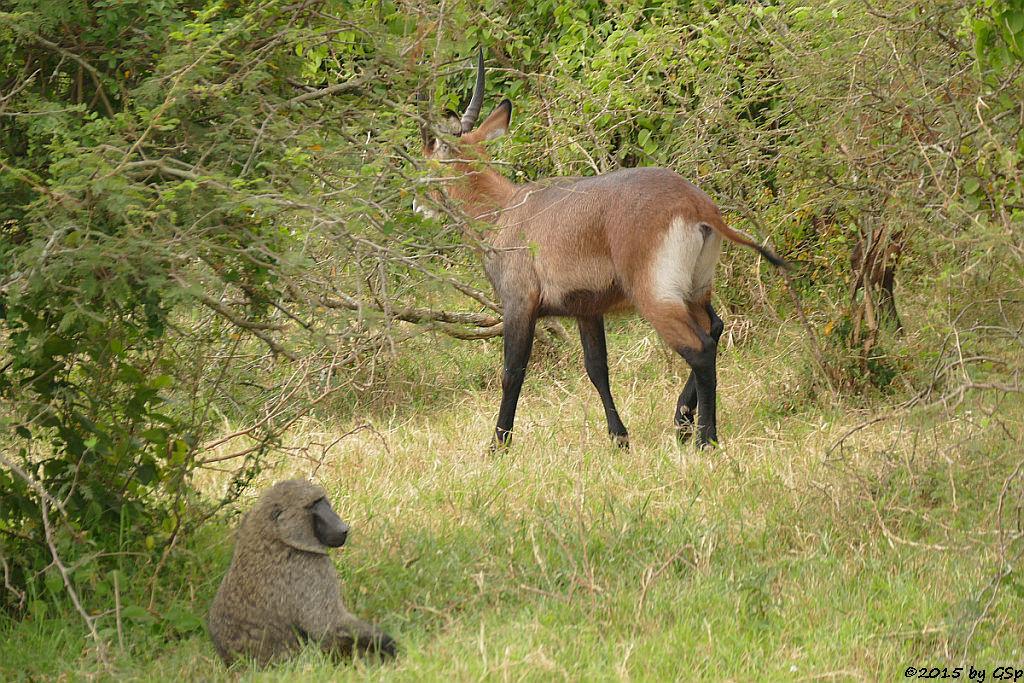 Anubis- (Grüner) Pavian, Defassa-Wasserbock (Anubis Baboon/Olive Baboon, Waterbuck)