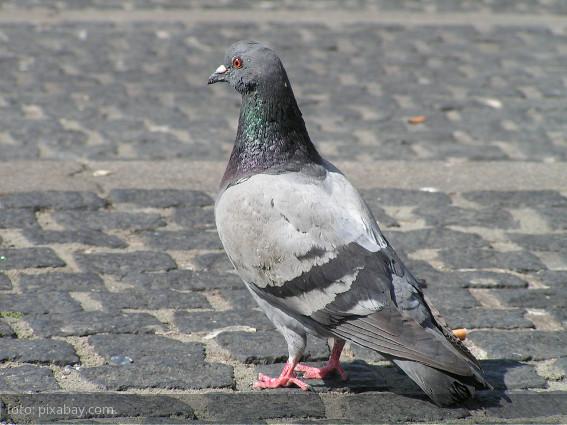 El problema de palomas ferales en cuidad