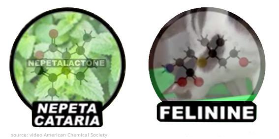 nepeta-cataria-nepetalactone-felinine