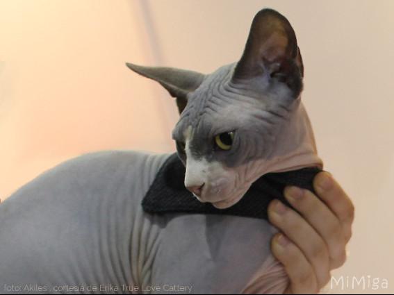 gato-sin-pelo-esfinge-sphynx