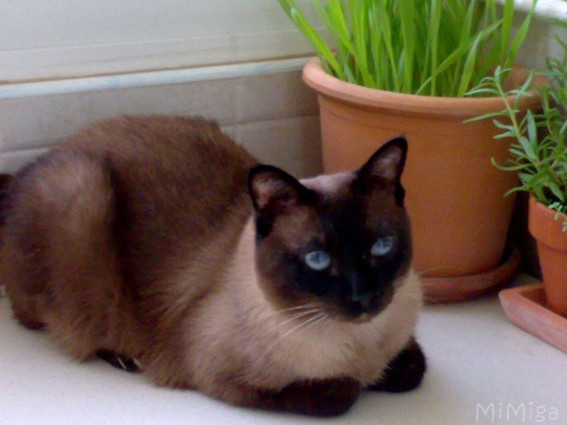siamese cat pot cat grass