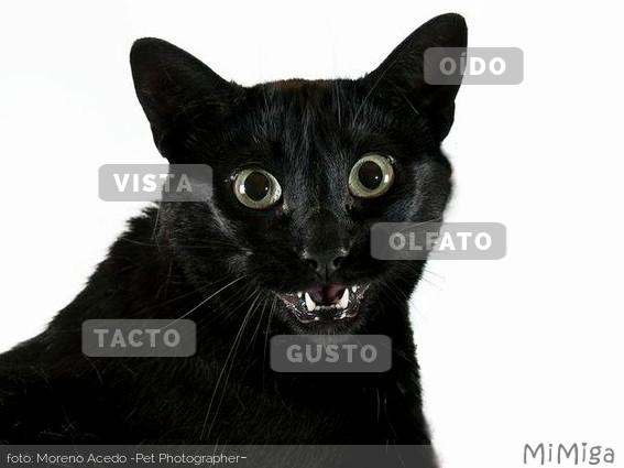 sentidos-gato-olfato-tacto-oido-vista-gusto
