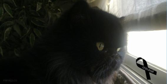 gato persa con enfermedad PKD poliquística renal