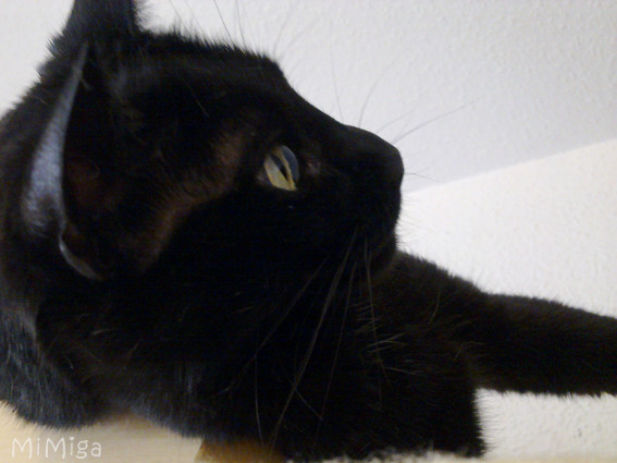 gato-negro-perfil-bigotes-miga-de-mi-miga