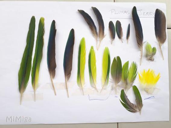 surtido-plumas-cotorra-argentina-jerry-para-joya-artistica-mi-miga