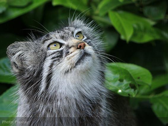 El gato pallas - una reliquia viviente