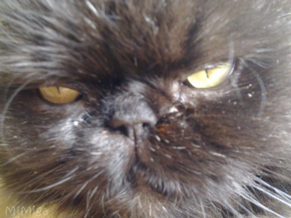 gato-persa-gris-humo-colorpoint-lorenza-de-mi-miga