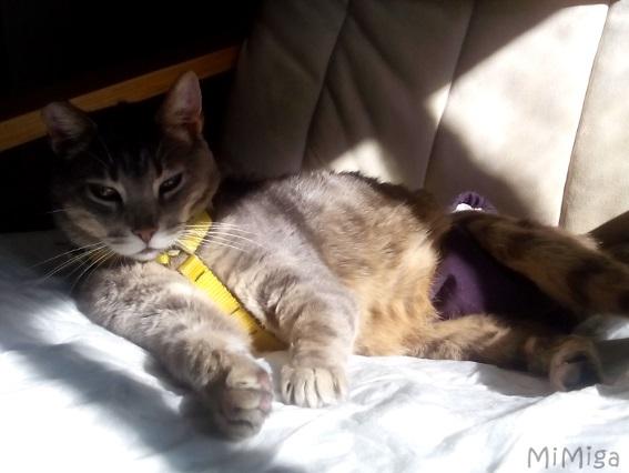 leo-de-mi-miga-nuestro-gato-especial-con-arnes-y-pantaloncitos