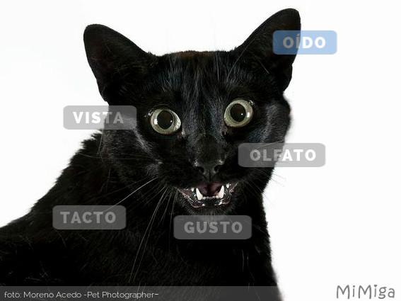 sentidos-gato-oido