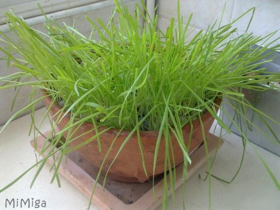 Una maceta de hierba (paso-a-paso)
