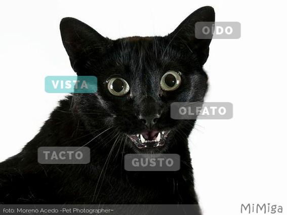 sentidos-gato-vista
