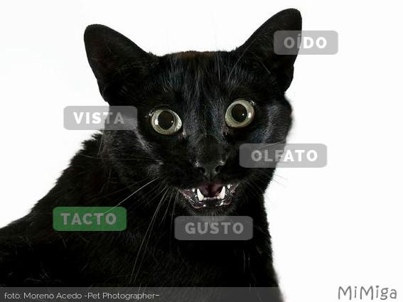 sentidos-gato-tacto