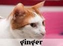 la-gatoteca-ginger