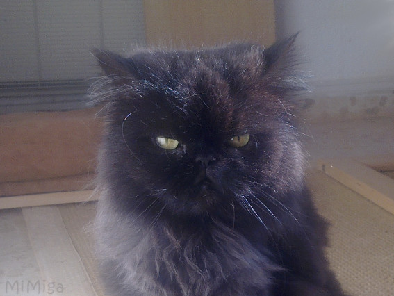 lorenza-rescued-persian-smoke-grey-colorpoint