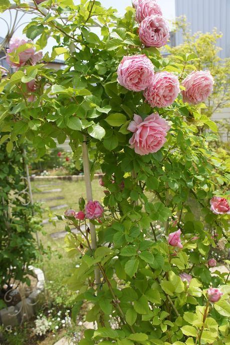 お庭の薔薇のアーチ。