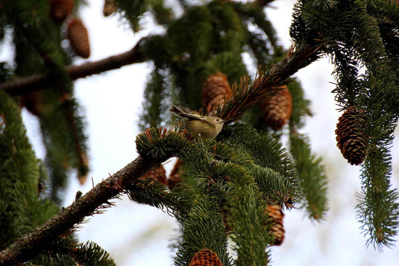 Goldhähnchen, der kleinste Singvogel Europas
