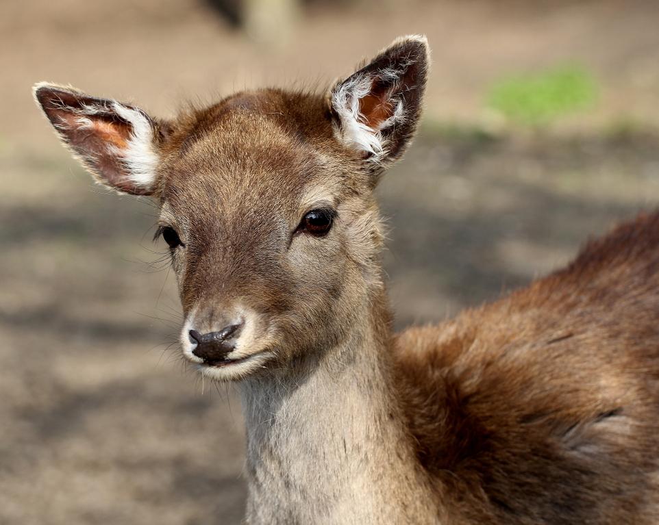 like Bambi