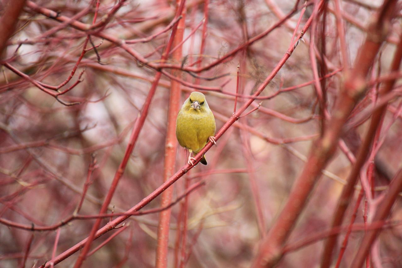 Grünfink in rot getaucht