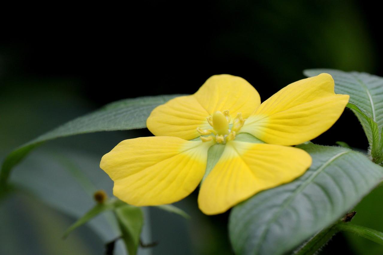 Die gelbe Schöne