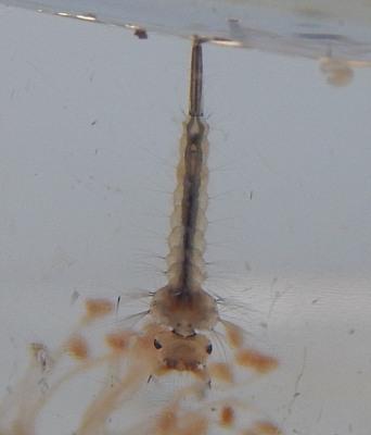 Die Larve einer Stechmücke hängt direkt an der Wasseroberfläche und atmet mit ihrem Hinterteil!