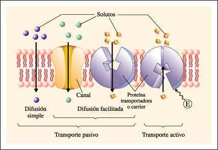 El siguiente esquema muestra los transportes pasivo y activo