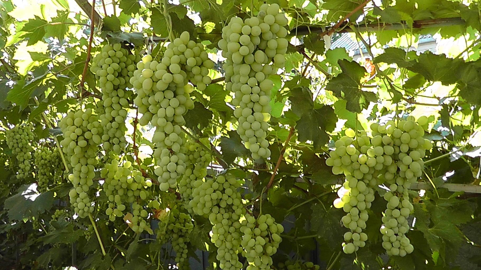 виноград лора описание сорта фото отзывы происходит местах