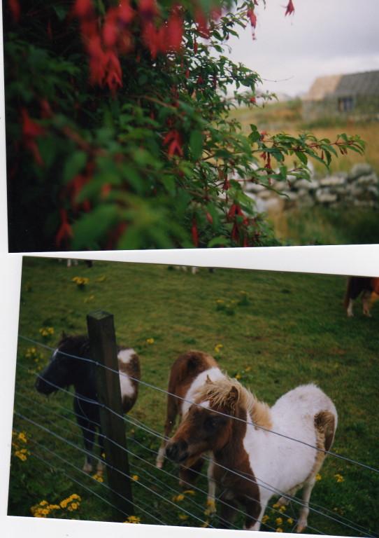 Blumen und Shetlandponys