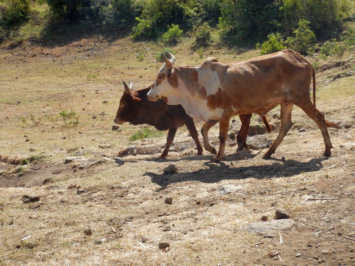 Voyage Séjour Trekking et randonnée, Road Trip en Ethiopie.  Région Amhara. Visite de la communauté Awra Amba en Ethiopie.