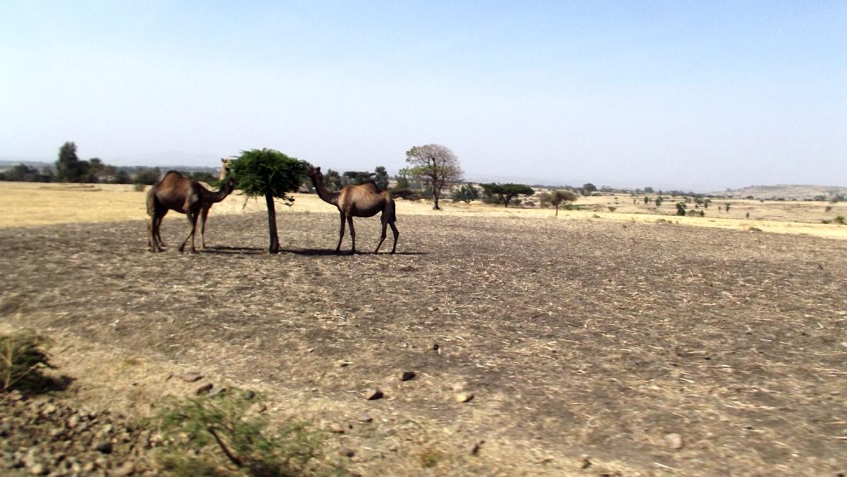 Des chameaux broutent. Voyage Séjour Trek Trekking Randonnée Road Trip Visite de la Région Oromia en Ethiopie.  Adadi