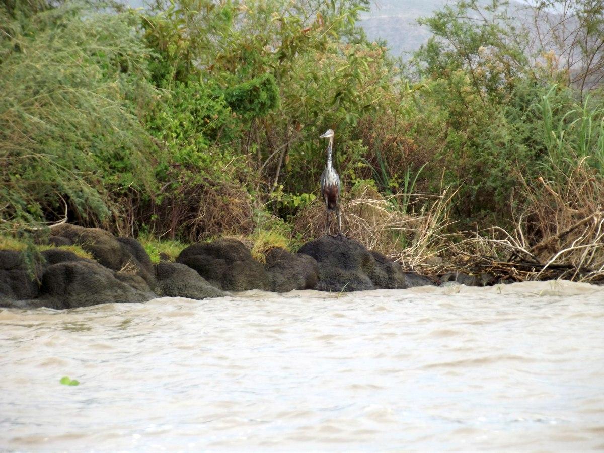 Un Héron argenté prend la pose La faune du Lac Chamo en Ethiopie. Voyage Séjour Trek Trekking Randonnée Road Trip en Ethiopie Visite de la Vallée de l'Omo en Ethiopie.