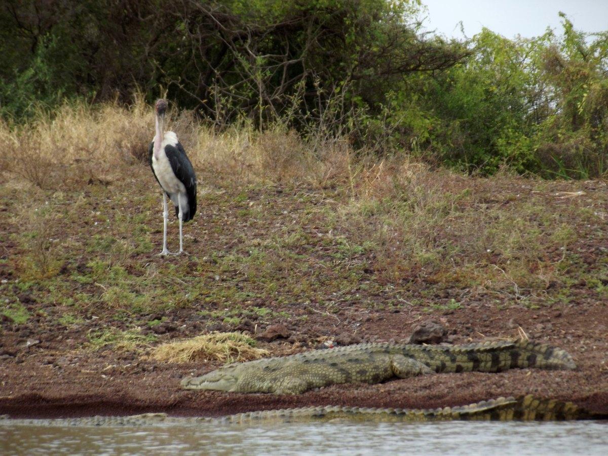 Marabout et crocodile vivent en harmonie La faune du Lac Chamo en Ethiopie. Voyage Séjour Trek Trekking Randonnée Road Trip en Ethiopie Visite de la Vallée de l'Omo en Ethiopie.