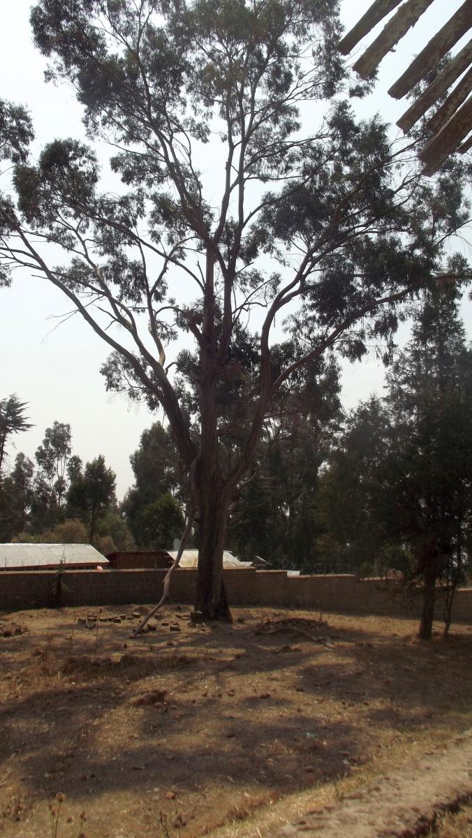Le premier eucalyptus offert à Menelik II. Visite du Gebbi (Palais) de Ménélik II à Entoto Addis Abeba en Ethiopie.