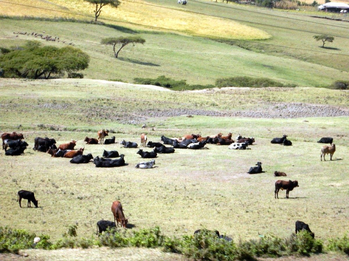 L'Ethiopie, un des cheptels les plus importants du continent d'Afrique. Voyage Séjour Road Trip Trek Trekking Randonnée en Ethiopie. Trip Road de Bahir Dar (Bardhar) à Addis Abeba