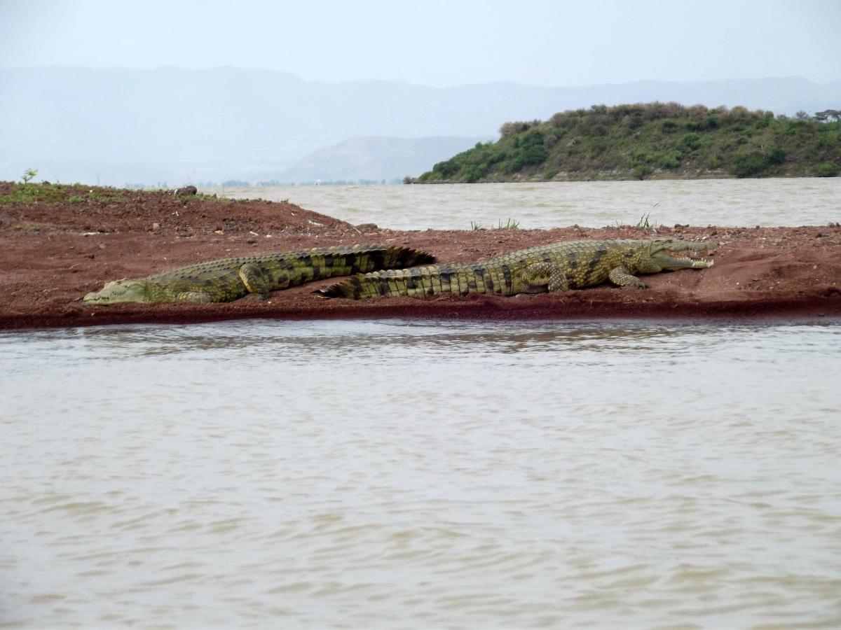 La faune du Lac Chamo en Ethiopie. Voyage Séjour Trek Trekking Randonnée Road Trip en Ethiopie Visite de la Vallée de l'Omo en Ethiopie. La faune du Lac Chamo en Ethiopie. Voyage Séjour Trek Trekking Randonnée Road Trip en Ethiopie Visite de la Vallée de