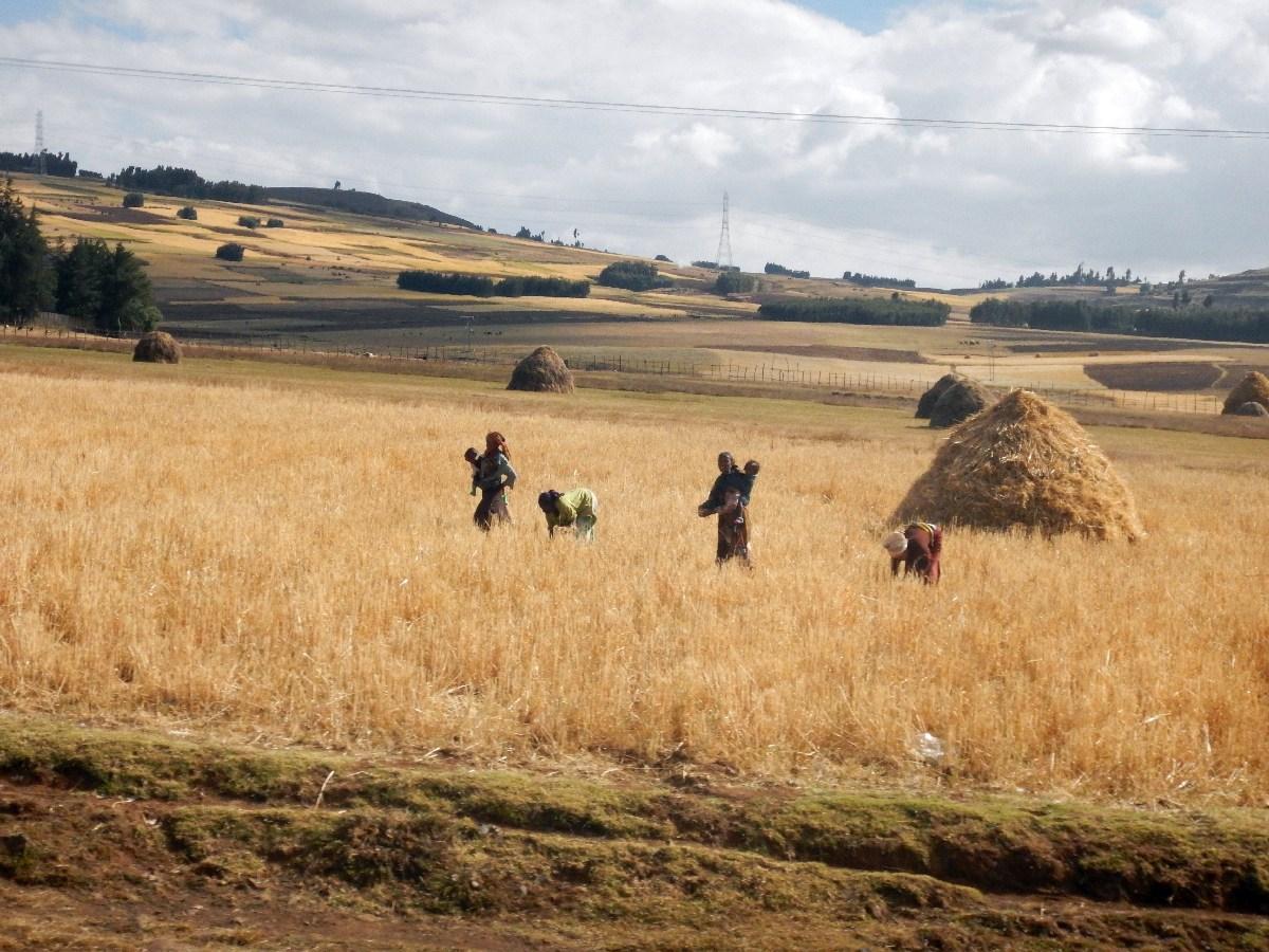 Récolte du Teff par les femmes. Voyage Séjour Road Trip Trek Trekking Randonnée en Ethiopie. Trip Road de Bahir Dar (Bardhar) à Addis Abeba