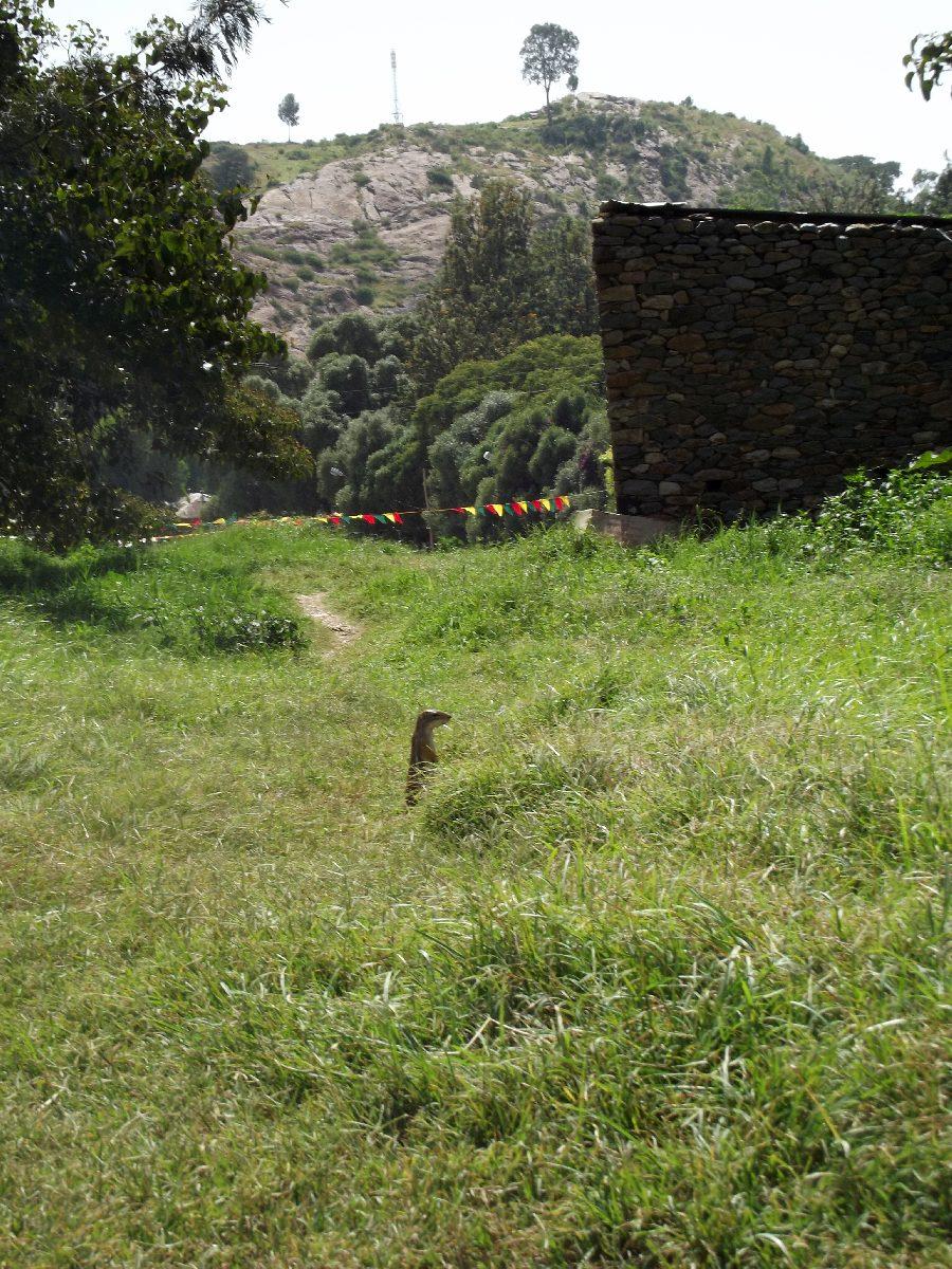 Un suricate d'Axum. Axum, insolite. Trek, randonnée et visite d'Axum en Ethiopie.