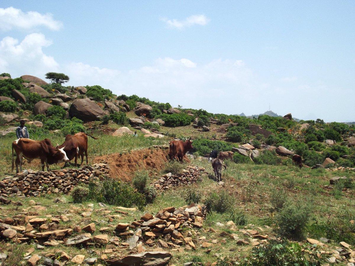 La prairie a gardé sa fonction principale. Trek, randonnée et visite d'Axum en Ethiopie. Autour d'Axum. Gobo Dura, la Forêt de Granit