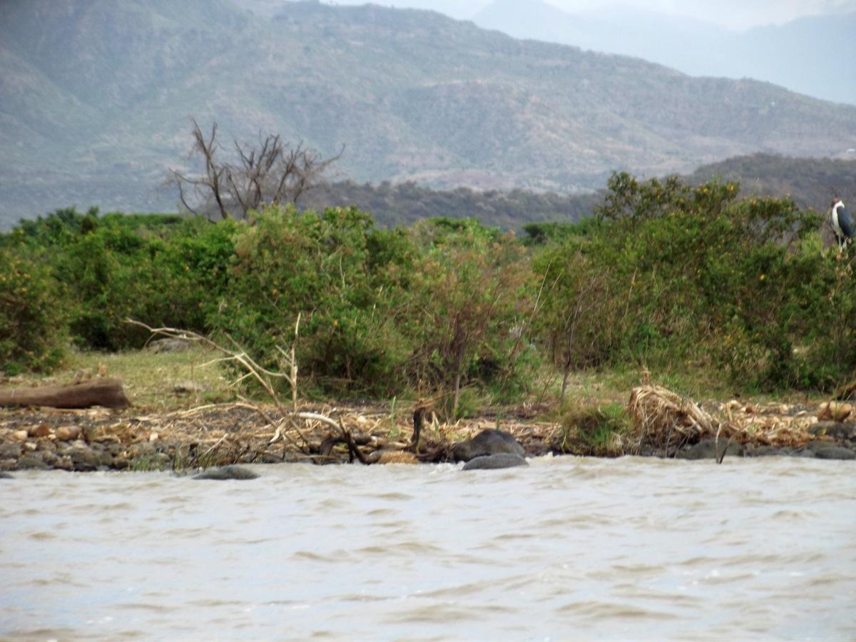 Hippopotames en vue La faune du Lac Chamo en Ethiopie. Voyage Séjour Trek Trekking Randonnée Road Trip en Ethiopie Visite de la Vallée de l'Omo en Ethiopie.