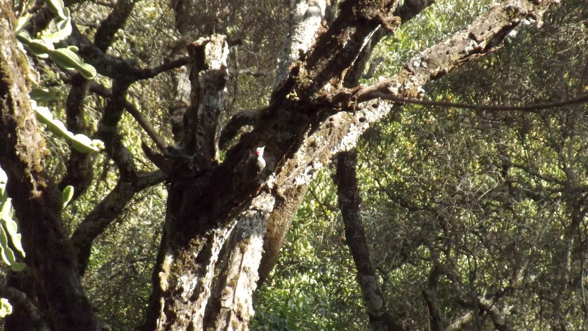 Un pivert nous guide vers la grotte . A woodpecker guide us trough the cave. Voyage Séjour Road Trip Trek Trekking Randonnée en Ethiopie. Debre Libanos, La Grotte de Takla Haymanot