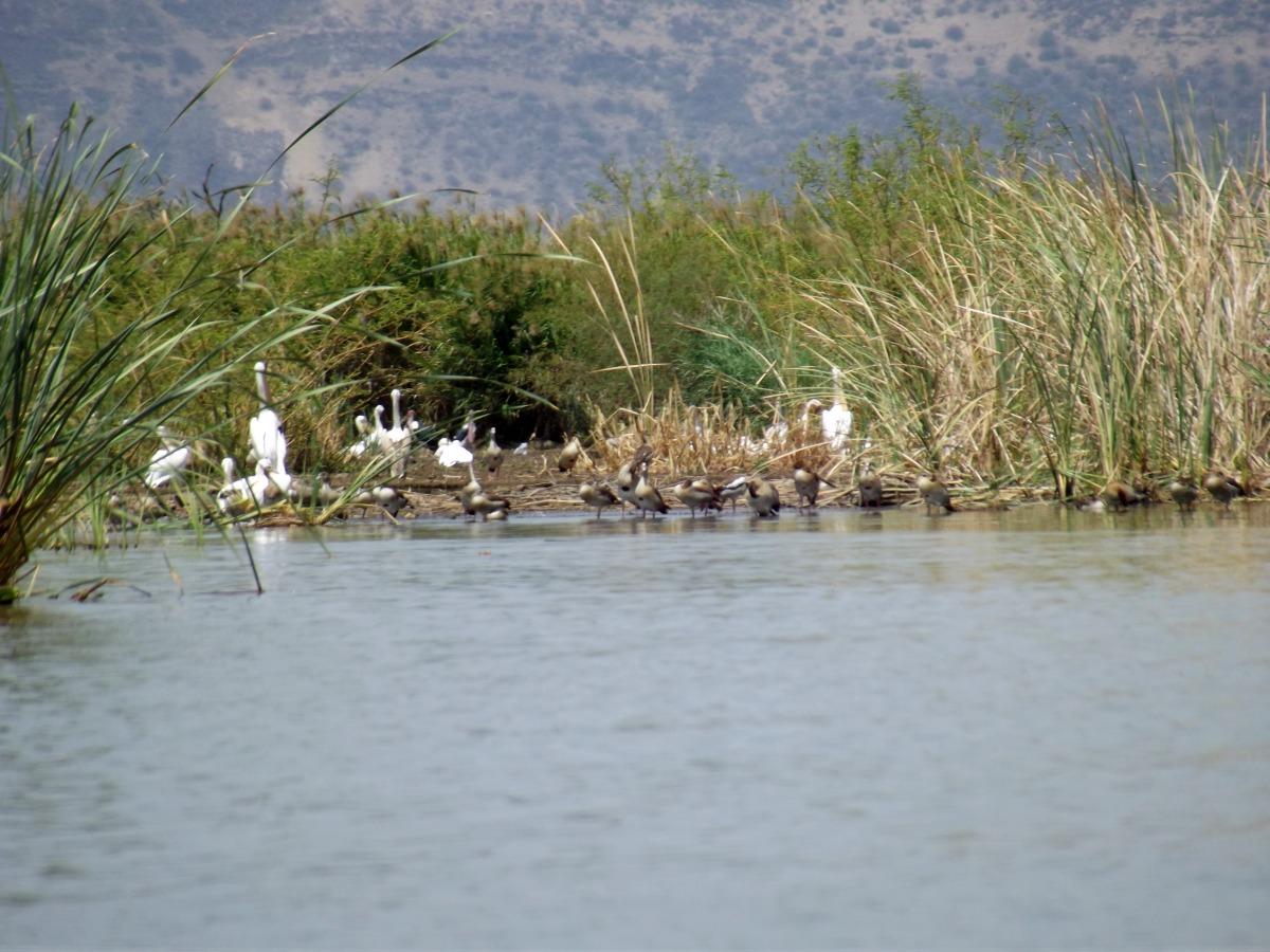 Pélicans et canards au lac
