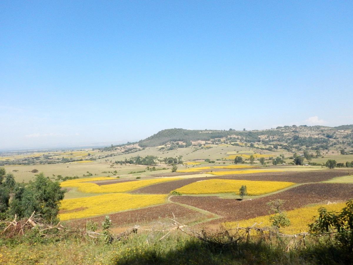 Jaune comme les champs d'Ethiopie. Voyage Séjour Road Trip Trek Trekking Randonnée en Ethiopie. Trip Road de Bahir Dar (Bardhar) à Addis Abeba