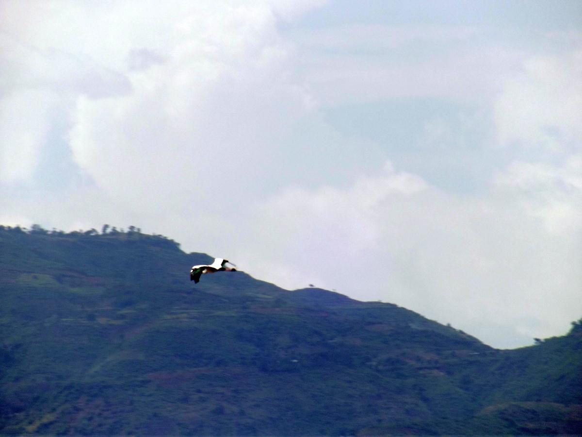Un Héron en vol La faune du Lac Chamo en Ethiopie. Voyage Séjour Trek Trekking Randonnée Road Trip en Ethiopie Visite de la Vallée de l'Omo en Ethiopie.