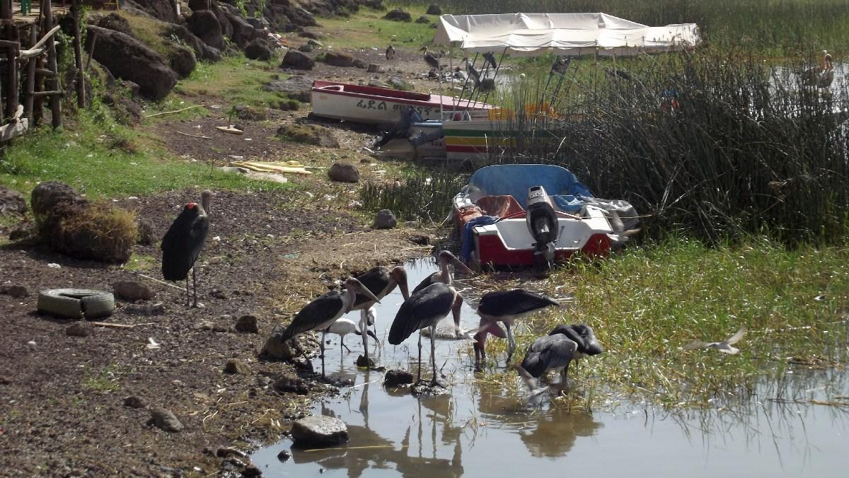 Voyage Séjour Trek Trekking Randonnée Road Trip Visite de la Région Oromia en Ethiopie, la ville Awassa . Le Lac d'Awassa.  Oiseaux d'Éthiopie