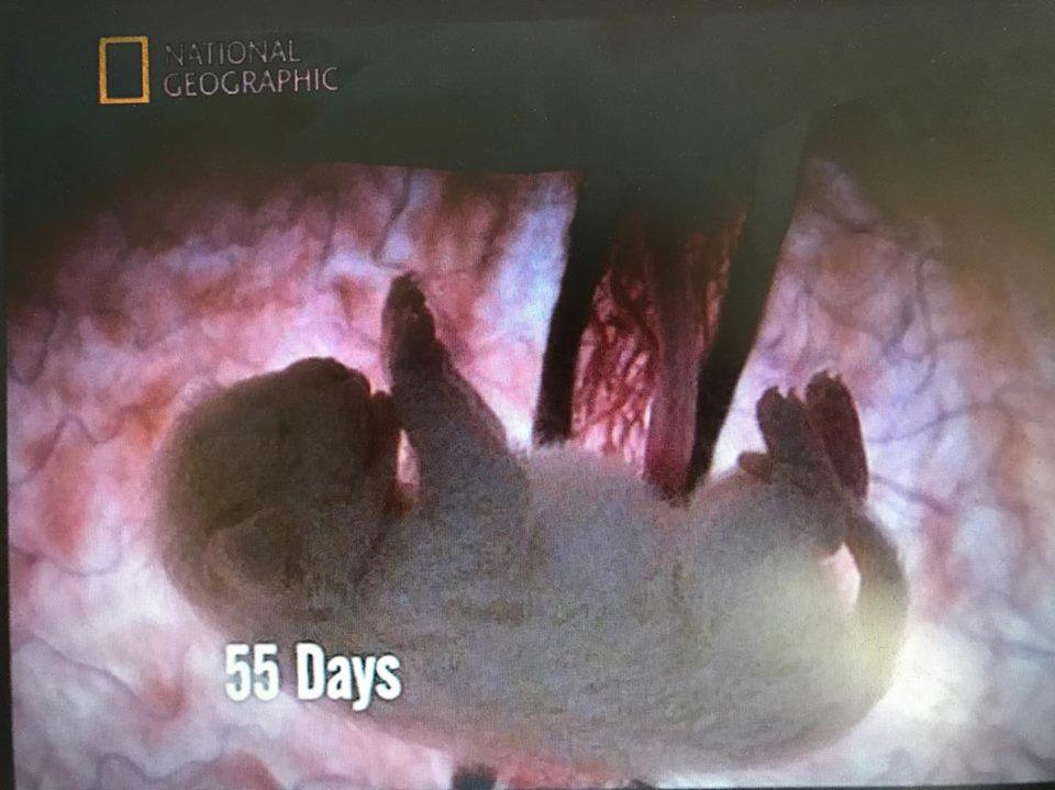 Op 55 dagen is de pup voorzien van alle onderdelen van het lichaam, nu rest enkel het groeien